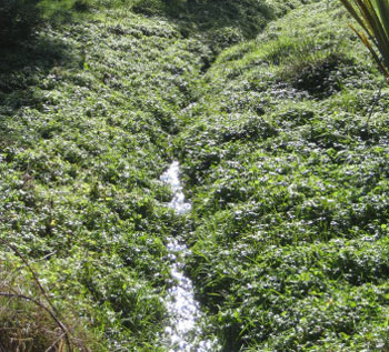 Watercress in a stream